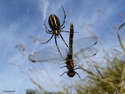 На подъезде к озеру Тишь в Перемышльском районе Калужской области сначала нашёл около 20 паутин этого паука. Именно необычная паутина выдавала маскировочно раскрашенного Природой Аргиопу. Потом, оставив рюкзак, штатив (его я не мог применять из-за очень крутого склона) ходил проведывать несколько пауков с камерой Sony DSC-F828. Фотографировал в режиме Макро: F\8; 1\320; ISO-100. Фотографировал с нижней точки, что позволяло получать короткие выдержки при меньшем ISO. Автор фото: Константин Ширяев