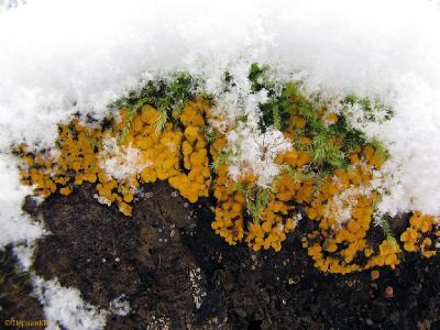 До фламулины на дереве не дошёл, а все остальные грибы, растущие на земле, были укрыты снегом. Биспорелла росла на торце лежащего дерева и поэтому мне приглянулась. Автор фото: Константин Ширяев