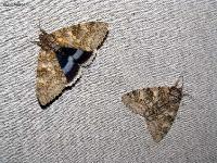 без признаков,размах крыльев до 110 мм,l: переднего крыла до 45 мм,c:светло-серые
