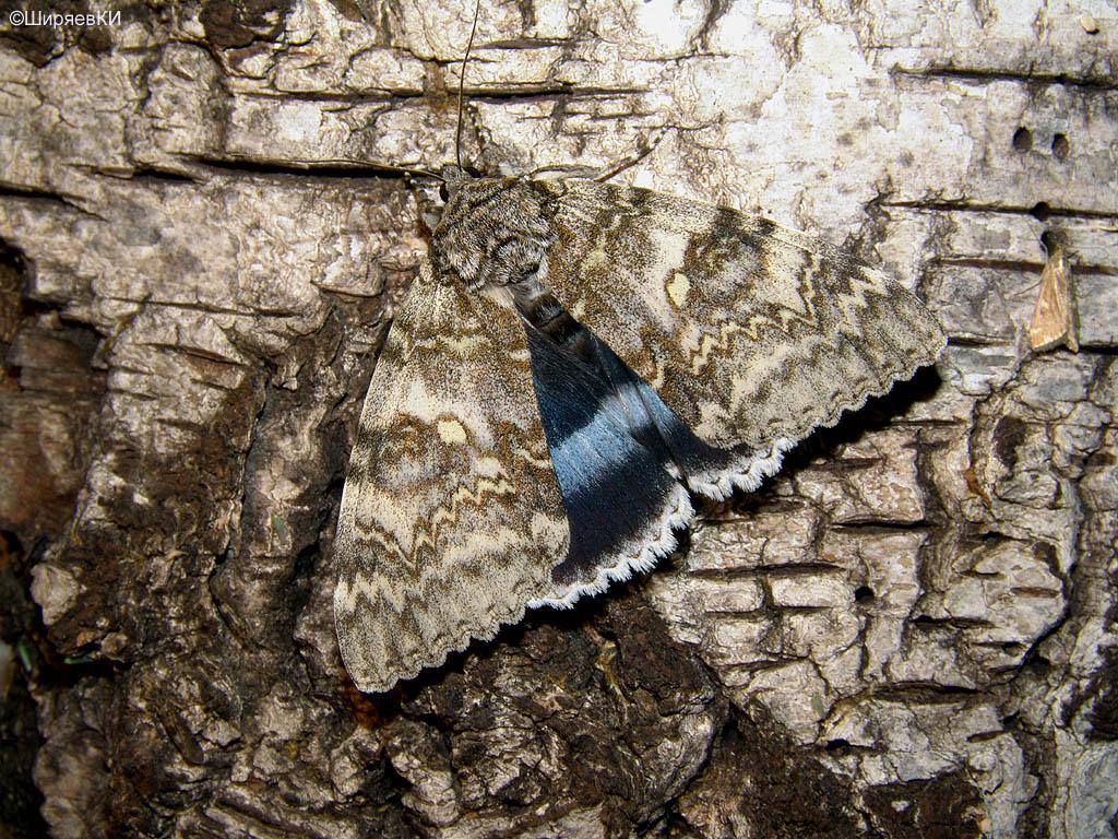 голубая орденская лента. Автор фото: Константин Ширяев