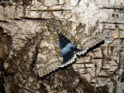 ГОЛУБАЯ  ОРЕДСКАЯ  ЛЕНТА самая крупная ночная бабочка из наших ленточниц. В своем распространении приурочена к лесной зоне. Летает по опушкам лесов (лиственно-смешанных), по берегам рек. Встречается в садах и парках. В горах поднимается до границы лиственных лесов. Бабочка активна ночью, летит на свет, но садится рядом с источником света, а не на нем. Время лёта: вторая половина лета, с середины июля до середины октября. Тоже любит компот.  Днём в разных местах вспугивал несколько раз. Трудно увидеть её мимоходом на стволе дерева.  Очень давно хотел её ПЕРЕСНЯТЬ. Есть у меня такая папка.  Автор фото: Константин Ширяев