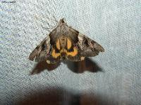 без признаков,l: переднего крыла до 26 мм,размах крыльев до 52 мм