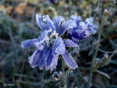 Теперь у меня есть ЦИКОРИЙ в инее. Осталось сфотографировать на голубом цветке цикория голубянку. На белом цветке цикория – капустницу. На розовом цветке – любое насекомое. Но это задание остаётся на летние месяцы. Автор фото: Константин Ширяев