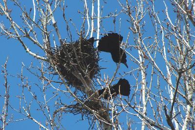 Гнездо от соседей нужно охранять постоянно Автор фото: Константин Ширяев