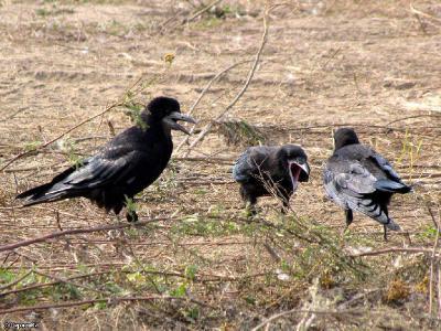 Взрослый грач докармливает своих птенцов и обучает их находить еду самостоятельно. Автор фото: Константин Ширяев