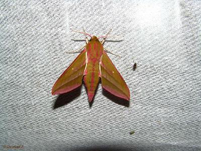 Время лета — с середины мая до июля, одно поколение. Широко распространён по Западной Палеарктике, от Западной Европы до Сибири, встречается в Индии.  Не все бабочки любят яркий свет. Не всем бабочкам нравится запах фотографа. А маленьким зелёным бабочкам я нравлюсь – села мне на шею.  На экране 10-11 видов насекомых. Есть знакомые, а как их зовут – не знаю. Точно так говорил деревенский дед: знакомая прилетела. Как зовут? Не знаю.  После съёмки прячу Sony в мешок от росы (влаги, холода) чтобы не запотевал объектив.    Автор фото: Константин Ширяев