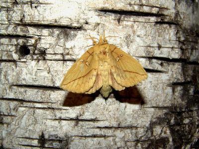 Найти бабочку днём – дело случая, а гусеница попадается чаще. А тут бабочку не искал – сама прилетела! Автор фото: Константин Ширяев