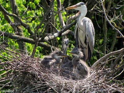 В этом гнезде проверка состоялась и всё пошло своим порядком.  Присутствие фотографов приучило птиц к тому, что повороты объектива им не грозят. Это облегчило мне съёмку.    Автор фото: Константин Ширяев