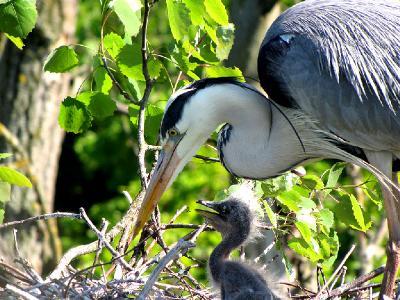 Дорога жизни у каждого своей длины. Если малышу повезёт, то он тоже вырастет и станет стройной красивой птицей. Автор фото: Константин Ширяев