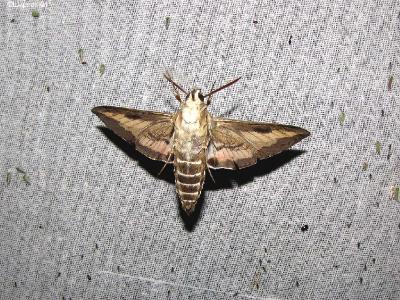 Наблюдал и фотографировал бражника, летающего спиной к экрану. Ещё бабочки могут вертеть головой направо, налево.  Автор фото: Константин Ширяев