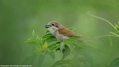 Самочка Сорокопута-жулана волнуется, а это означает, что рядом птенцы 18 июля 2015 Автор фото: Константин Ширяев