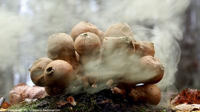 Дождевик грушевидный. Первая проба запечатлеть «осеннюю посевную» спорами у гриба дождевика. Калужская область.16 октября 2016. Автор фото: Константин Ширяев