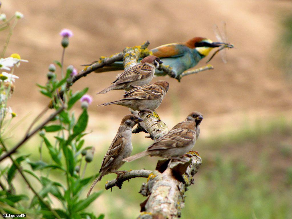 Золотистая щурка и полевые воробьи. Автор фото: Константин Ширяев