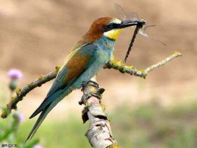 В пищевом рационе, как взрослых птиц, так и птенцов - пчёлы, стрекозы, бабочки, жуки, шмели, мухи, кузнечики. Автор фото: Константин Ширяев
