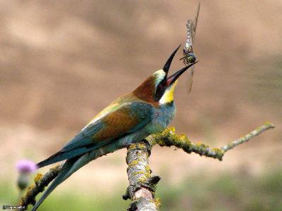 Перед тем как передать еду птенцам, её надо обездвижить ударами о ветку и перехватить поудобнее. Автор фото: Константин Ширяев