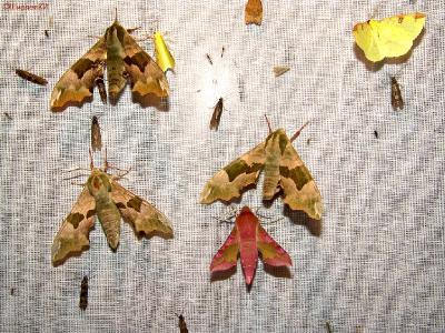 Некоторые бабочки, когда приближаешься к ним на расстояние макросъёмки, не выдерживают дыхания фотографа. Это дыхание возможного врага. Затаите его, хотя это тоже не 100%-ное решение вопроса. Когда будете подходить к экрану, не наступите на бабочек, которые могут сидеть под ним на земле. Я во время подготовки к съёмке вырываю полоску травы под экраном и накрываю это место «юбкой» экрана, шириной 50-80 сантиметров. Накрывать землю нужно плотно. Бабочки могут, извините, залезть под «юбку». ЛИПОВЫЙ  БРАЖНИК водится почти во всей Европе, Малой Азии, на Кавказе, в Западной Сибири. Летает в мае и июне, а иногда второе поколение появляется осенью, в сентябре.  Автор фото: Константин Ширяев