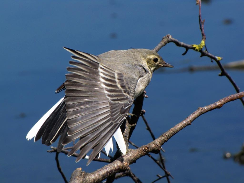 Белая трясогузка (Motacilla alba). Автор фото: Константин Ширяев