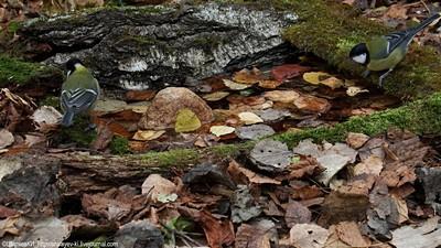 Большая синица. Искусственный водопой. Калужская область. 26 октября 2016. Автор фото: Константин Ширяев