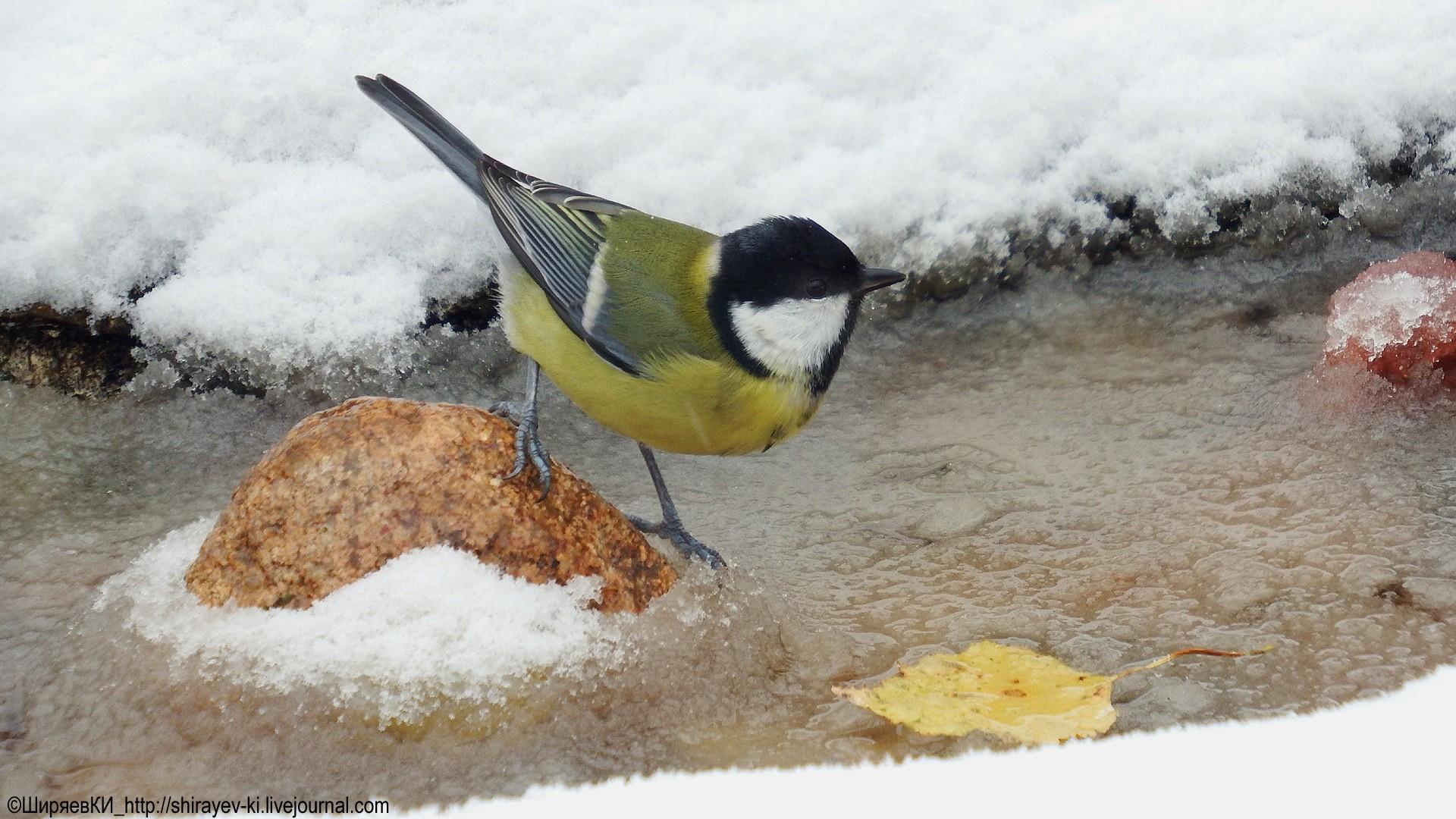 Большая синица (<span class=wiki><a class=bird target=catalog href=http://mycoweb.ru/GIF/catalog/bird_catalog.php?level=picture&id=3>Parus major</a></span>) Автор фото: Константин Ширяев