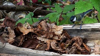 Сколько же нужно перевернуть опавших листьев, чтобы найти что-нибудь съедобное. Съёмка из укрытия. 23 октября 2016. Автор фото: Константин Ширяев