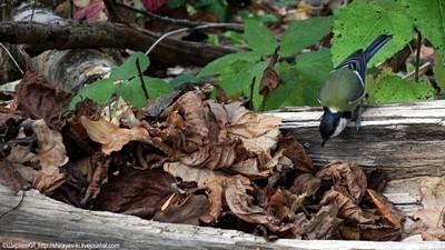 Большая синица (Parus major) Автор фото: Константин Ширяев