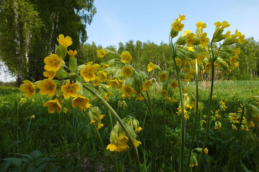 Primula veris. Первоцвет весенний. Автор фото: Константин Ширяев