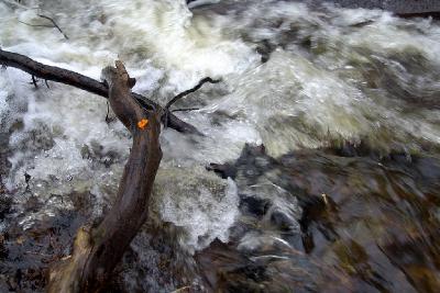 Дрожалка оранжевая над бегущей водой Автор фото: Константин Ширяев
