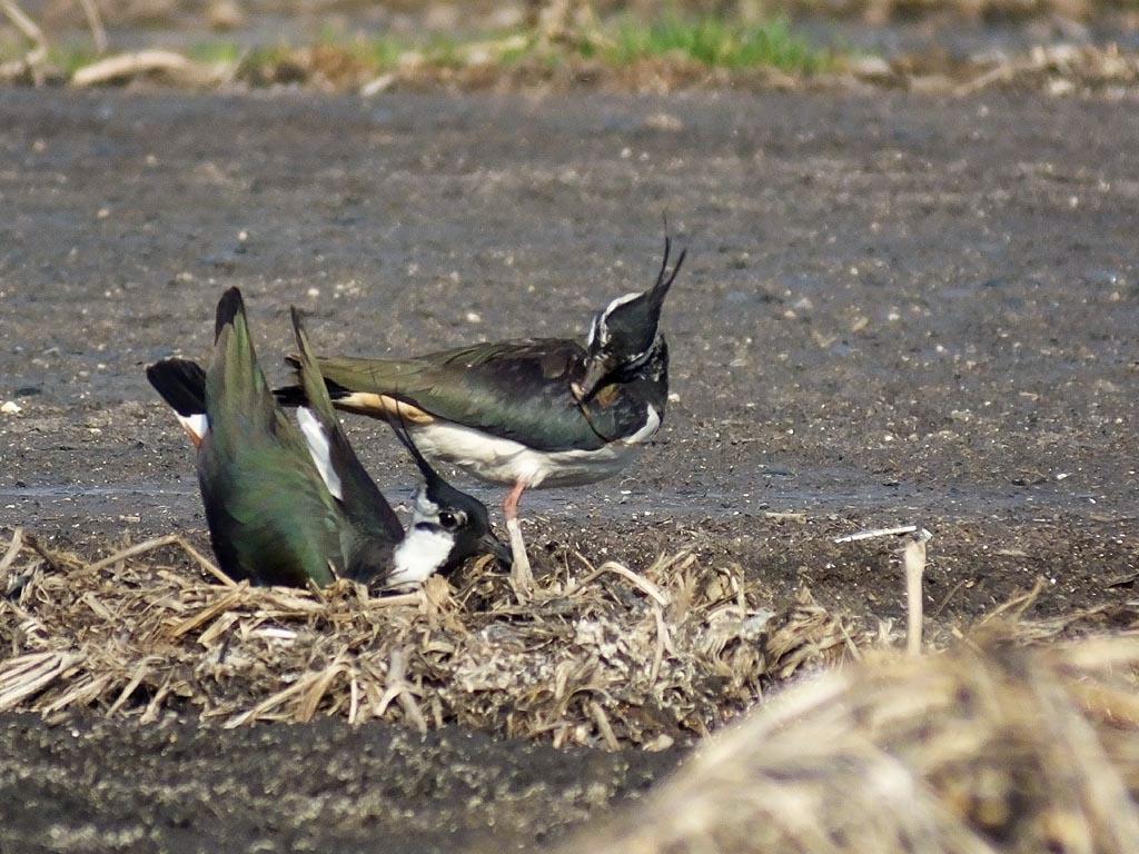 Чибис (Vanellus vanellus). Автор фото: Константин Ширяев