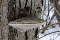Трутовик ложный черноватый (Phellinus nigricans) на осинеАвтор фото - Сергей Костюкевич (г. Санкт-Петербург)