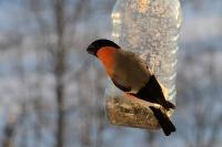 Обыкновенный снегирь (Pyrrhula pyrrhula)Автор фото - Сергей Костюкевич (г. Санкт-Петербург)