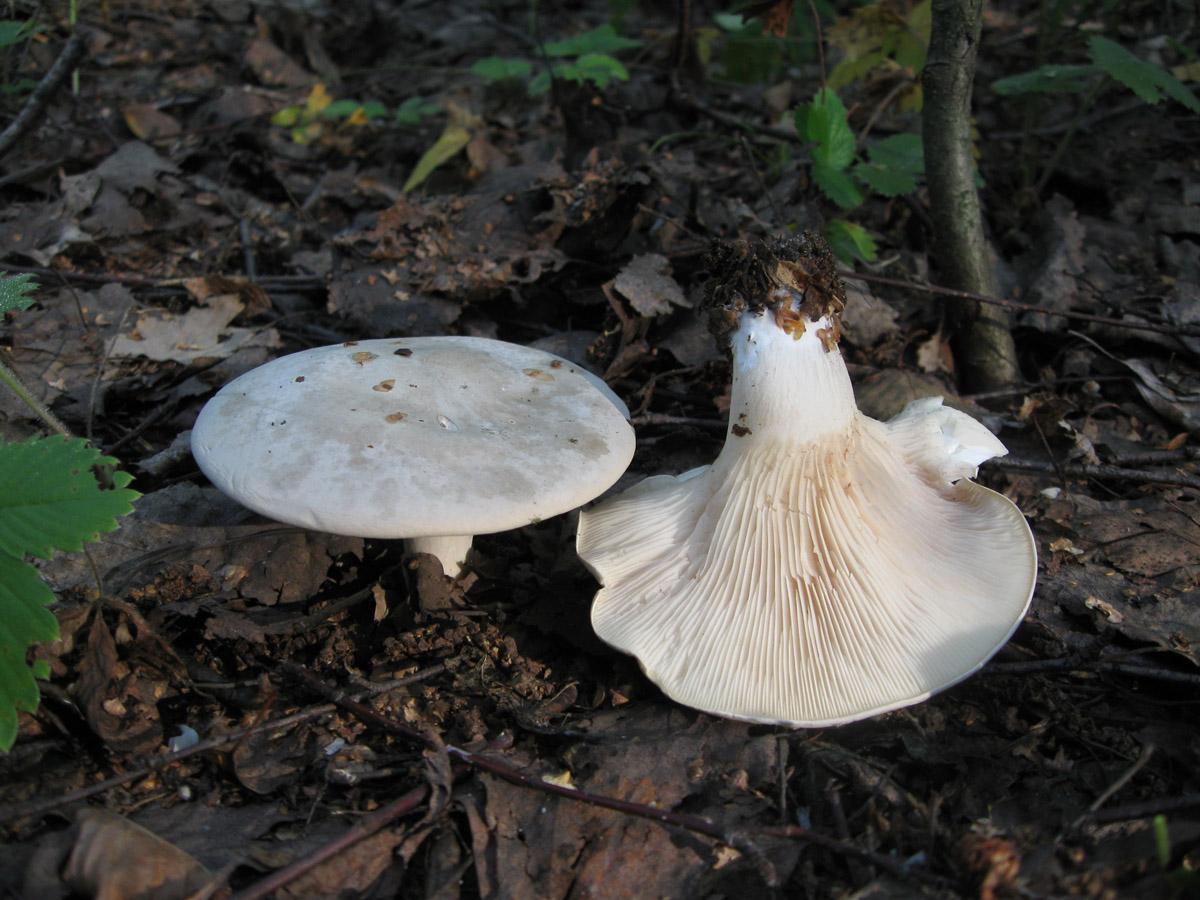 Ивишень (Clitopilus prunulus). Автор фото: