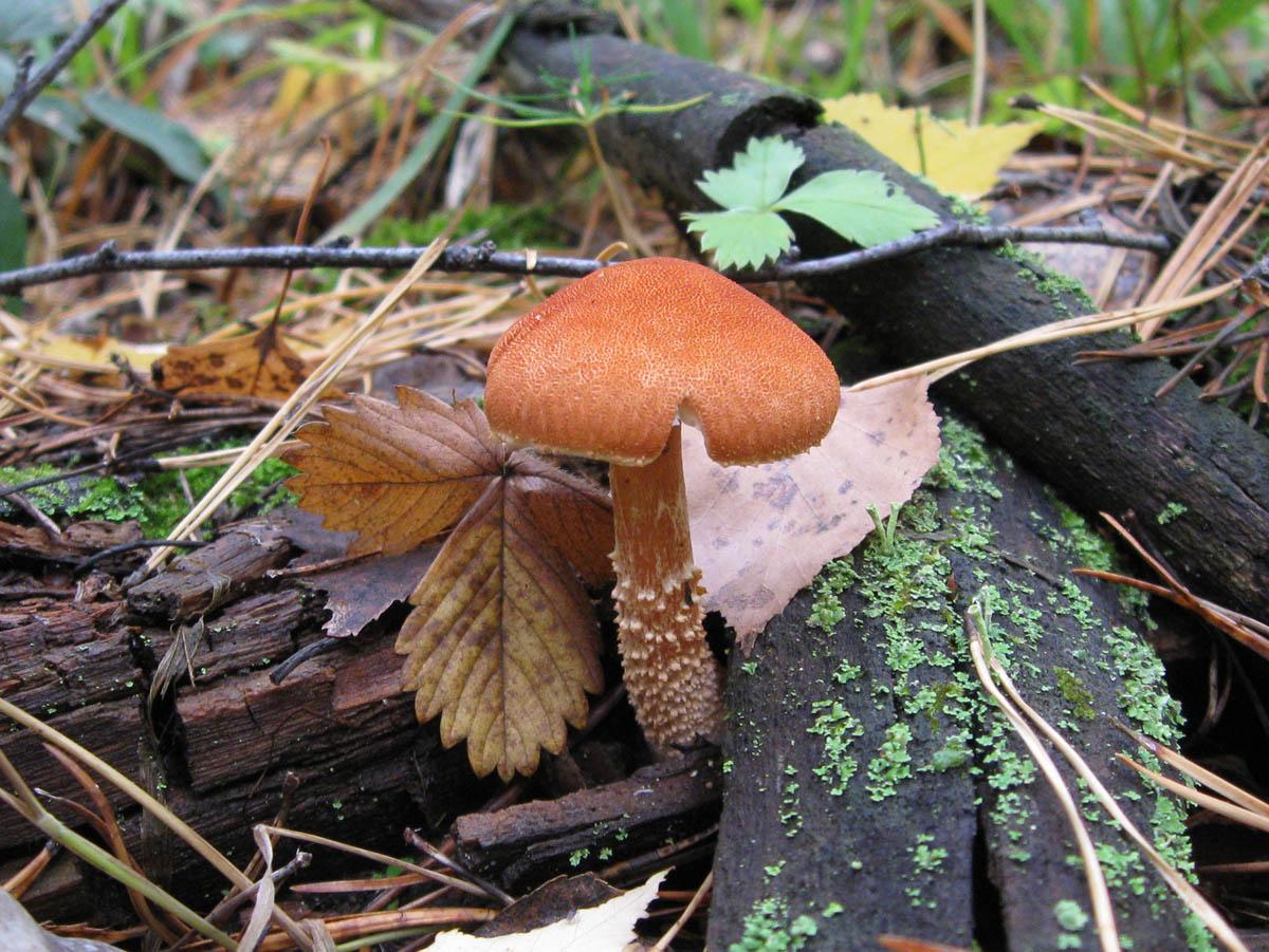 Cystoderma cinnabarinum. Автор фото: Олег Селиверстов