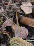рогатиковые грибы