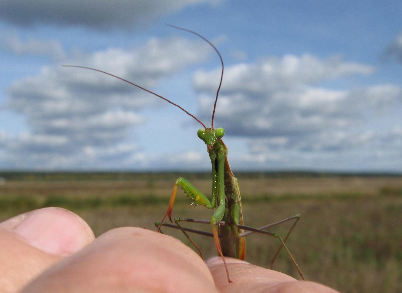 Mantis religiosa (Богомол обыкновенный). Автор фото:Олег Селиверстов