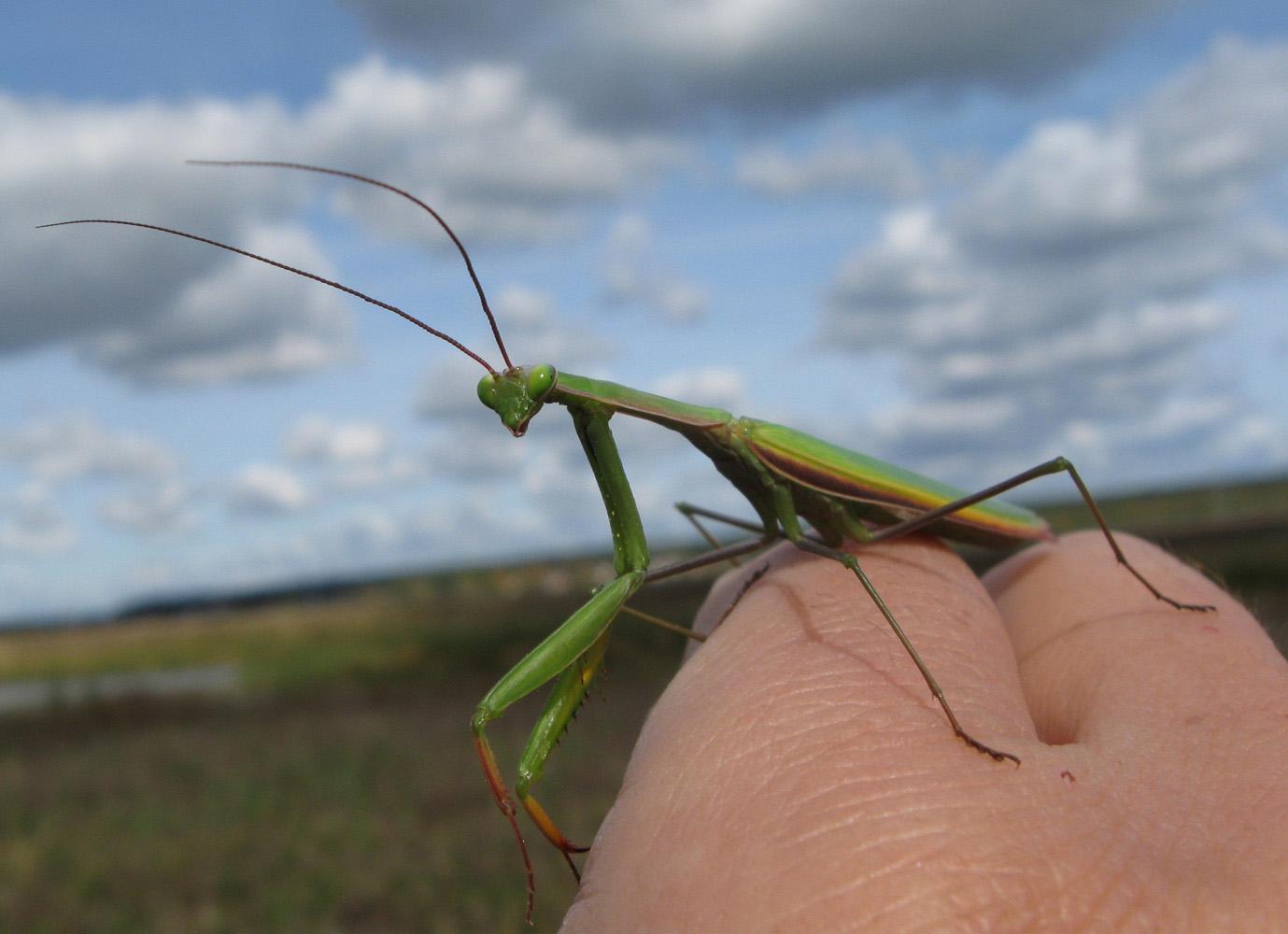 Mantis religiosa (Богомол обыкновенный). Автор фото: Олег Селиверстов