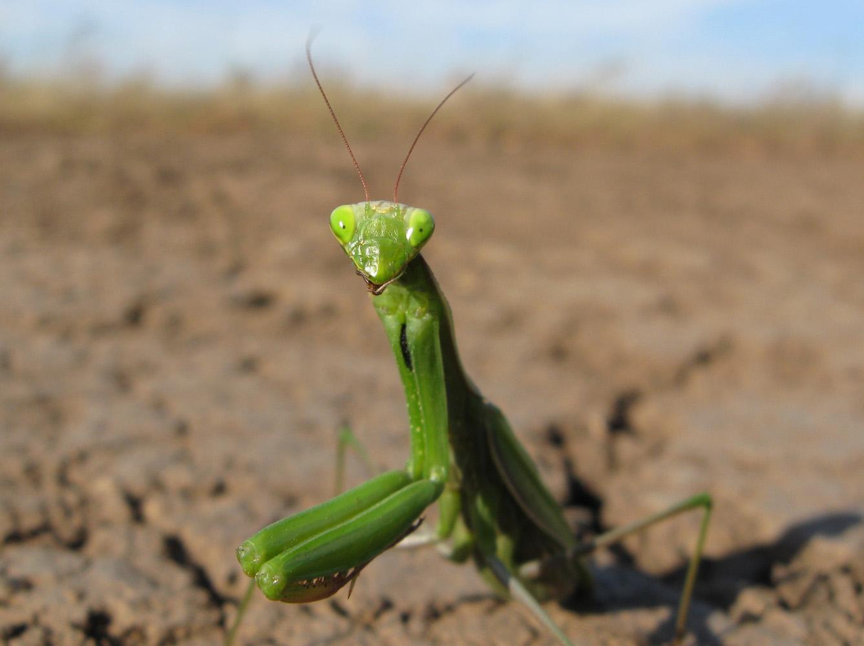 Обыкновенный богомол (Mantis religiosa). Автор фото:Олег Селиверстов