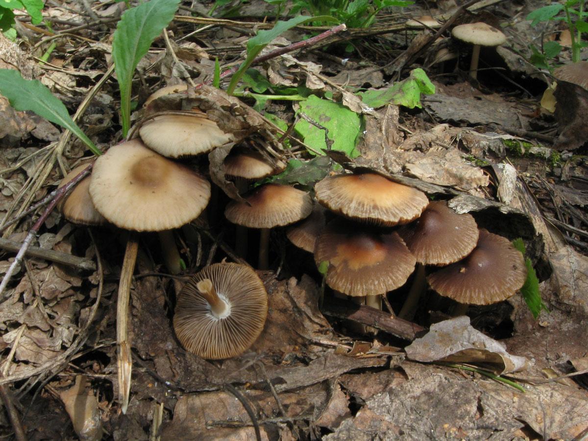 Psathyrella spadiceogrisea. Автор фото: Олег Селиверстов