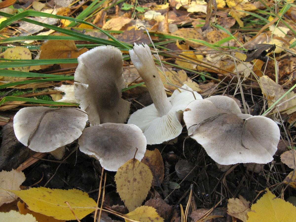 Tricholoma saponaceum. Автор фото: Олег Селиверстов