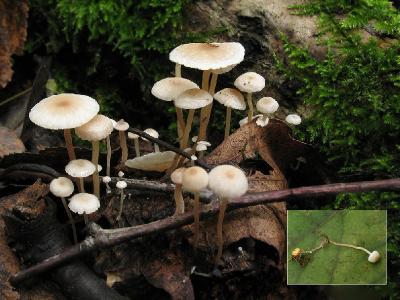 Collybia cookei - Коллибия Кука. Крошечные грибочки, отличаются от родственных видов наличием склероция характерной формы и окраски. Автор фото: Татьяна Светлова