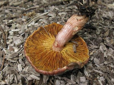 Gymnopilus luteofolius - Гимнопил желтопластинчатый. Гименофор. Автор фото: Татьяна Светлова