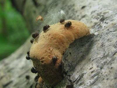 Hapalopilus rutilans - Гапалопилус красноватый   Трутовый гриб. На фотографии совсем крошечный молодой грибок. В Московских парках этот вид часто можно встретить на сухих опавших ветвях и валеже берёзы. Автор фото: Татьяна Светлова