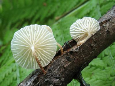 Marasmius ramealis - Негниючник веточковый Автор фото: Татьяна Светлова