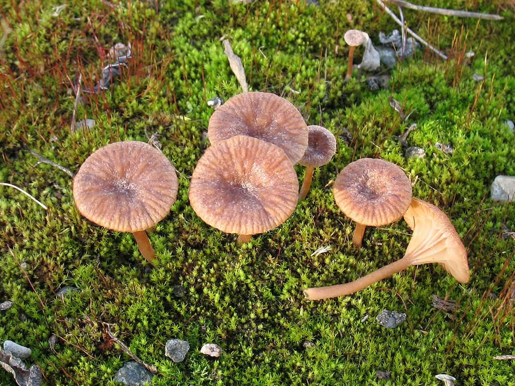 Omphalina pyxidata. Автор фото:Татьяна Светлова