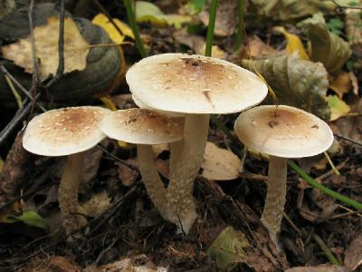 Pholiota lenta - Чешуйчатка клейкая Автор фото: Татьяна Светлова