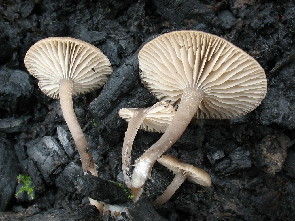 Tephrocybe anthracophila. Автор фото: Татьяна Светлова