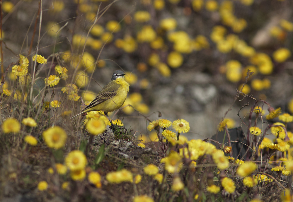 Желтая трясогузка. Автор фото: Байбекова Светлана