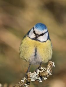 Обыкновенная лазоревка (Cyanistes caeruleus) Автор: Байбекова Светлана
