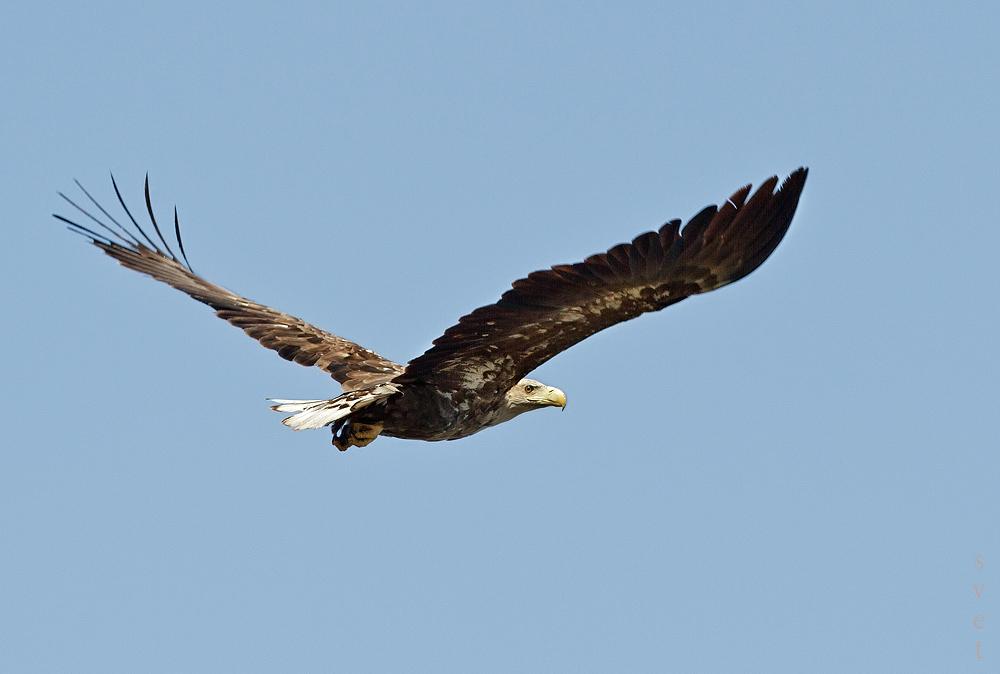 Орлан-белохвост. Автор фото: Байбекова Светлана