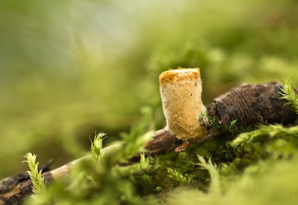 Бокальчик гладкий (Crucibulum laeve). Автор фото: Байбекова Светлана