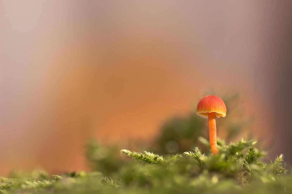 Гигроцибе киноварно-красная (Hygrocybe miniata). Автор фото: Байбекова Светлана